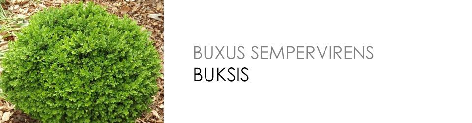 Buksis - mūžzaļš dekoratīvs krūms apstādījumu veidošanai,