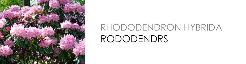 Rododendrs - parka un kapsētu apzaļumošanai